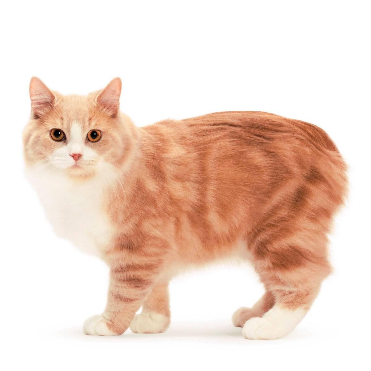 Кошка кимрик: описание породы и особенности характера