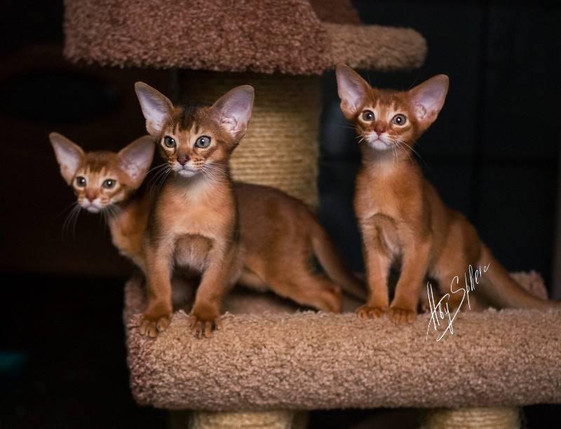 Абиссинская кошка – домашняя пума