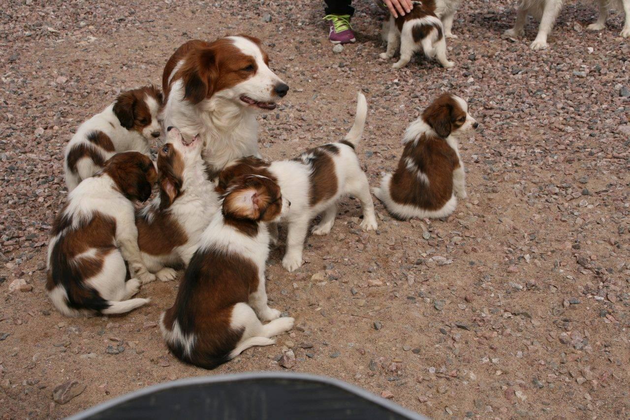 Английский кокер спаниель собака. описание, уход и цена английского кокер спаниеля   sobakagav.ru