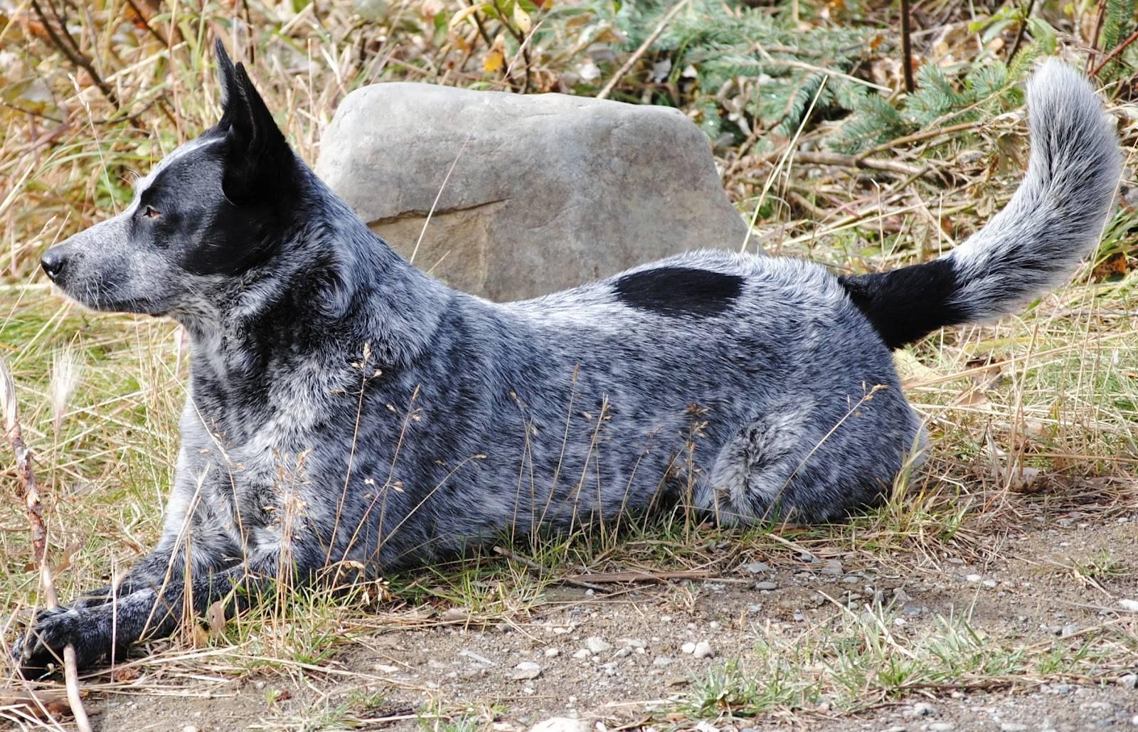 Австралийская пастушья собака: пастух или компаньон?