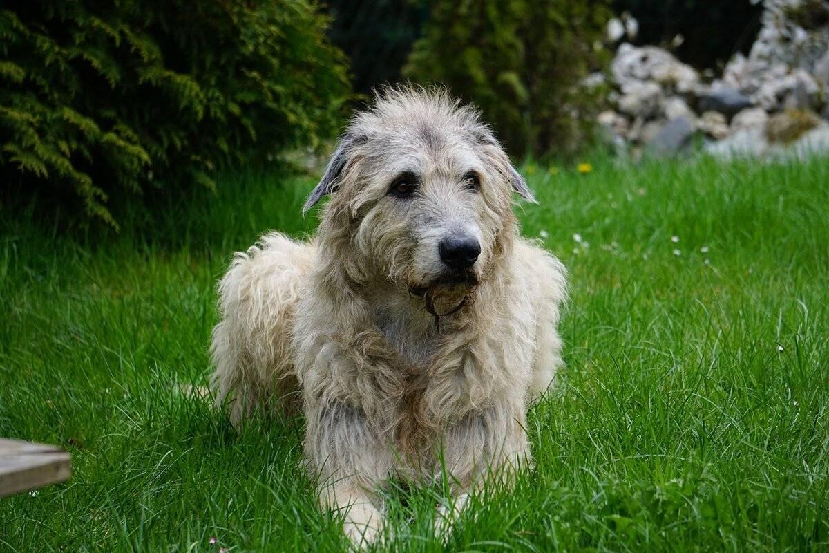 Все о собаках породы ирландский волкодав! wikipet.ru