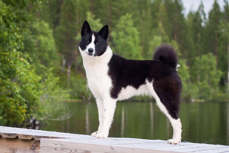 Карельская медвежья собака (лайка): характеристика и фото породы | все о собаках
