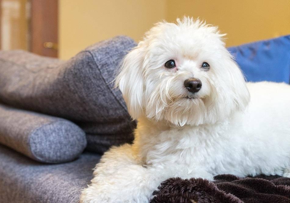 Котон де тулеар— собака с ароматом хлопка