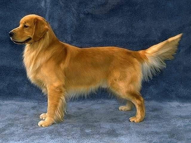 Золотистый ретривер (голден): описание породы, характер, фото