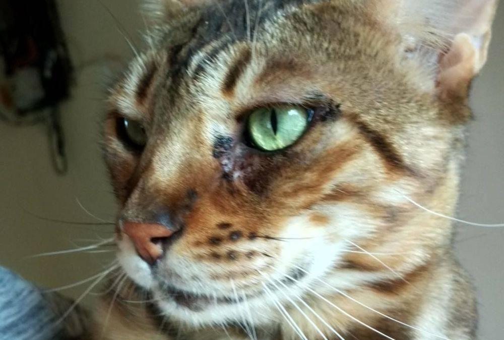 Симптомы ринотрахеита и лечение вирусной инфекции у кошки в домашних условиях