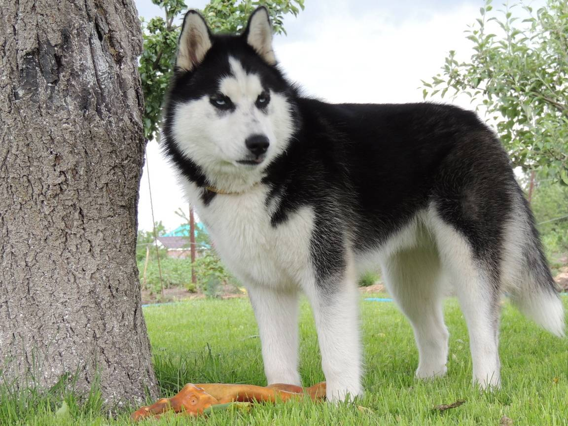 История породы и виды собак хаски
