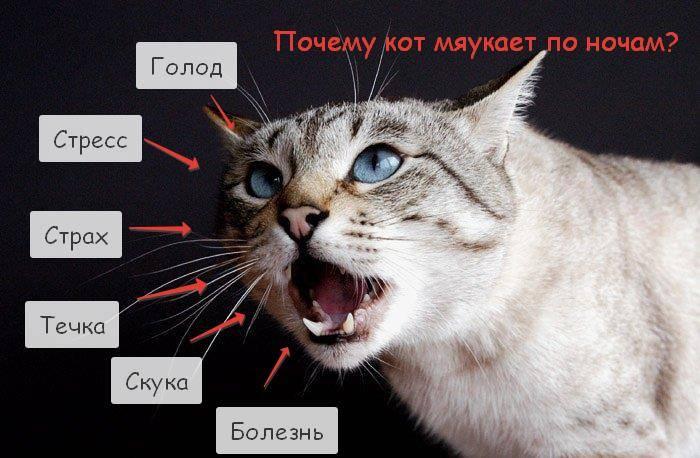 Почему кошка орет, мяукает и ходит по дому без причины: по ночам, что делать?
