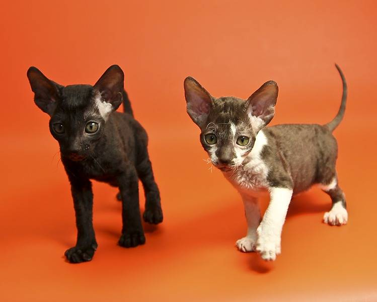 Корниш-рекс: история происхождения кошки, описание породы, внешности, характер и содержание животного, фото