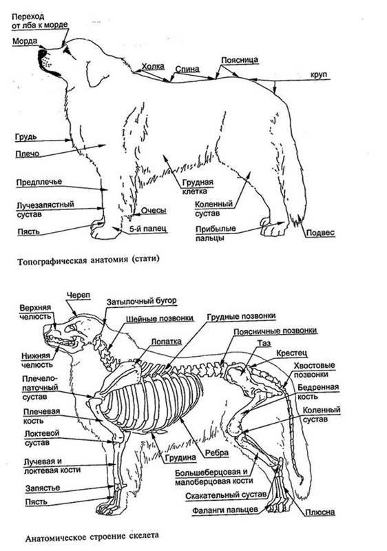 Анатомия собаки – особенности физиологии и строения тела