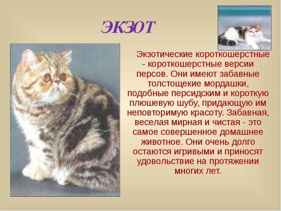 Описание, виды окраса и особенности содержания сибирских кошек