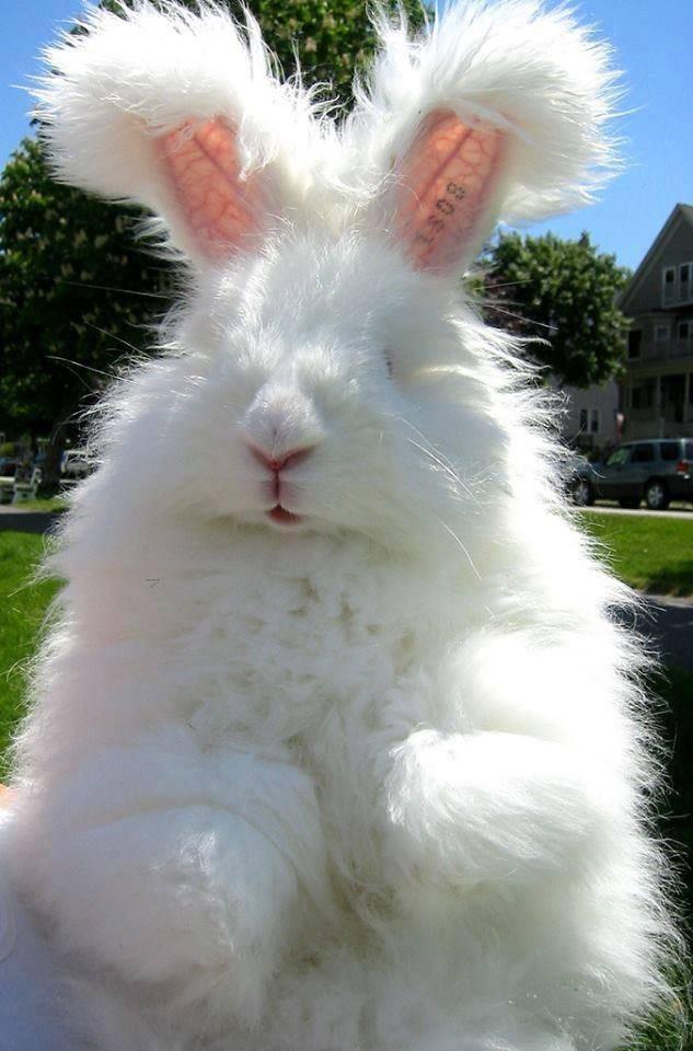 Ангорские кролики: описание породы и виды, как выбрать, уход и разведение