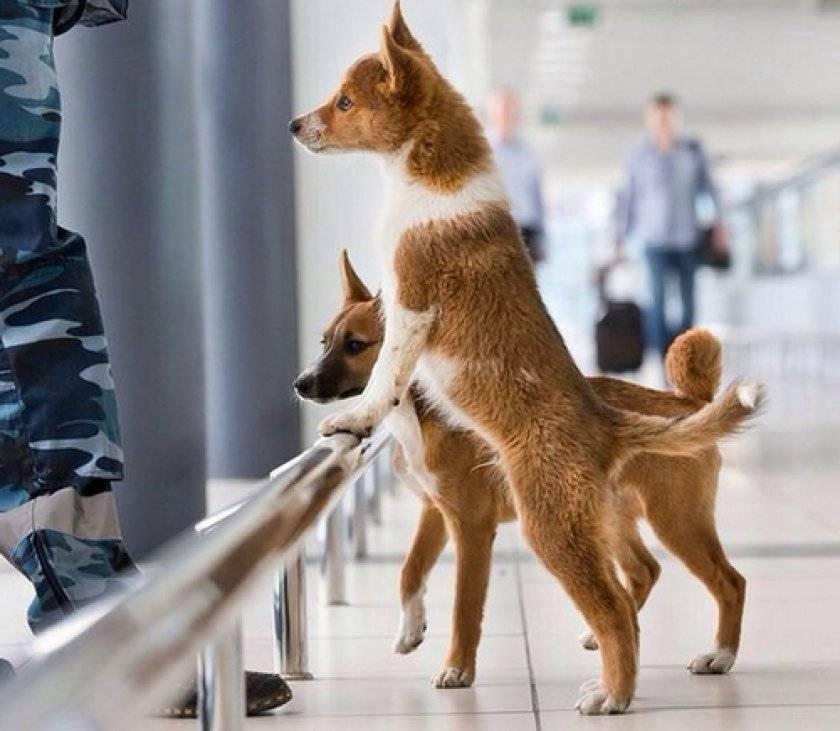 Шалайка или собака сулимова: описание породы