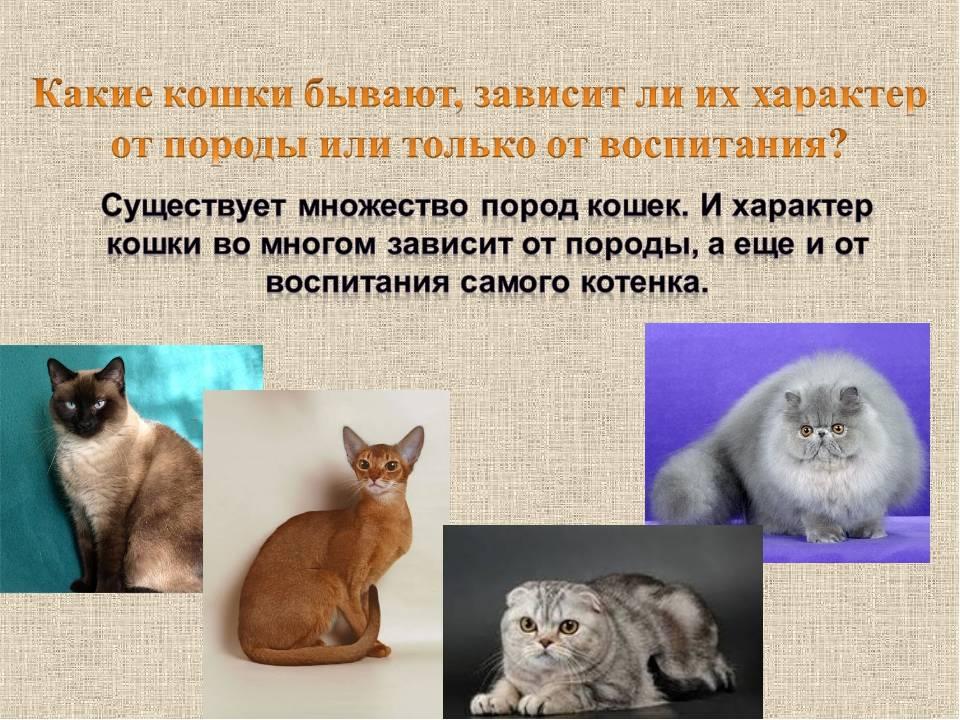 Рейтинг из 10 самых злых пород кошек в мире с описанием характера