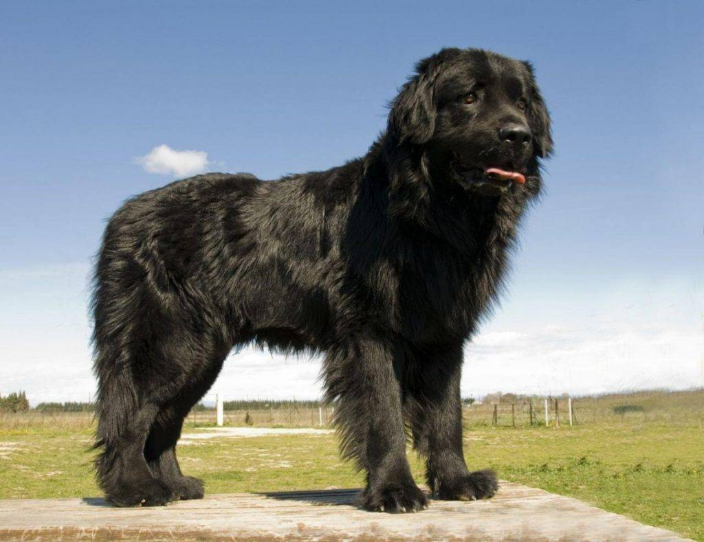 Порода собак ньюфаундленд