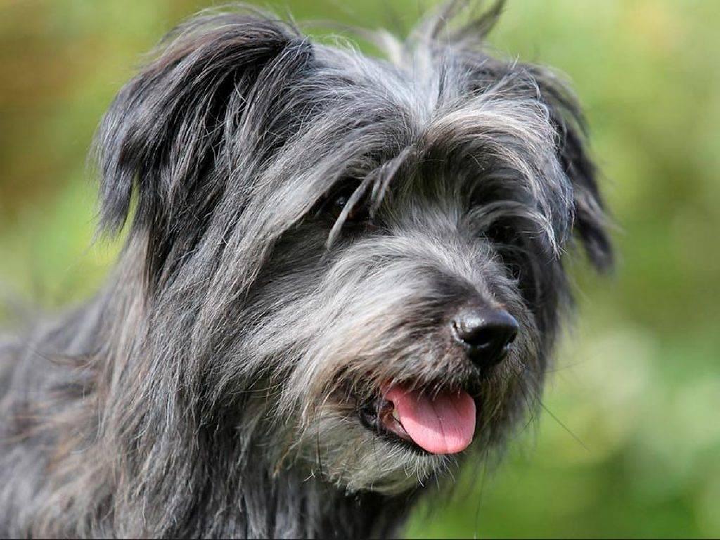 Пиренейская горная собака: характеристика породы и особенности ухода