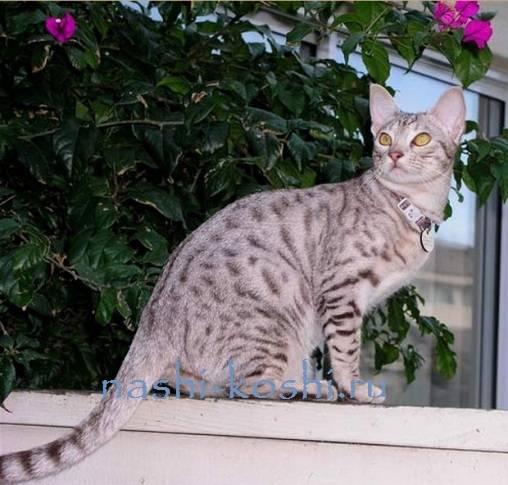 Оцикет – озорник в леопардовой шкуре