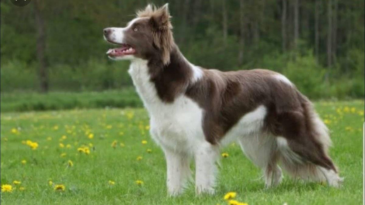 Самые умные и преданные породы собак — топ-10