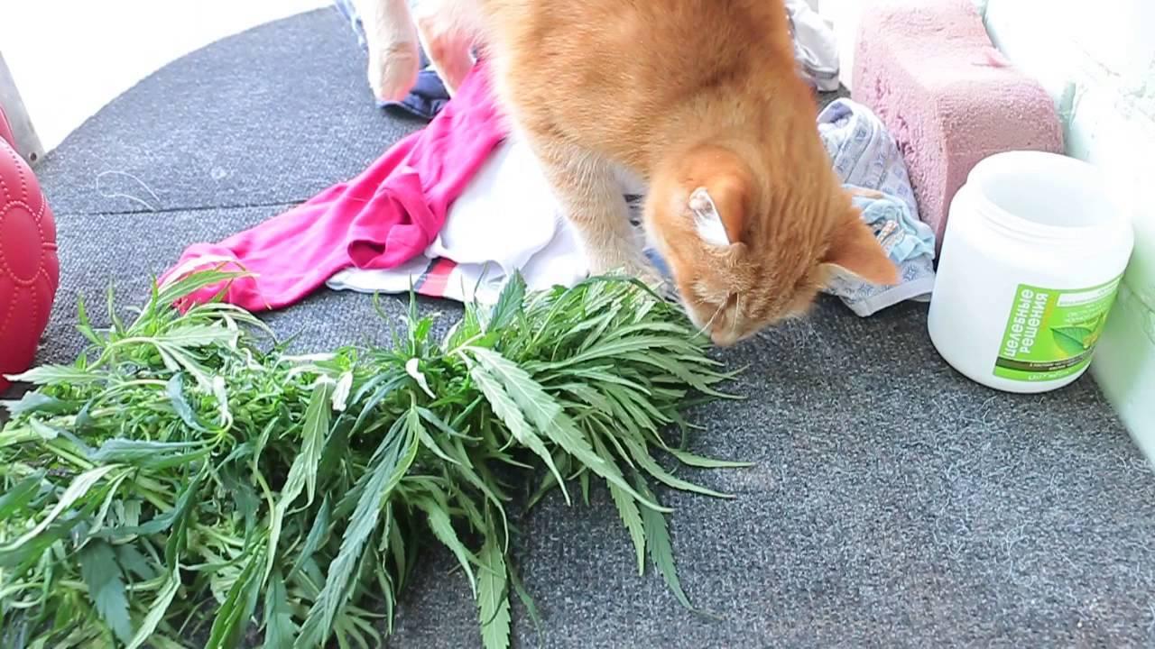 Пророщенная трава для кошек, зачем кошкам трава, как посадить