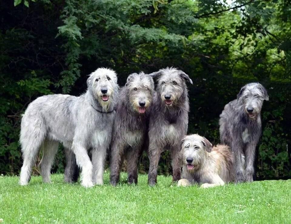 Ирландский волкодав: все о собаке, фото, описание породы, характер, цена