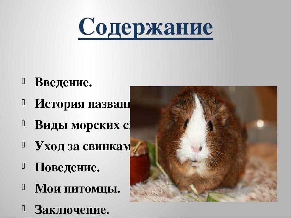 Морская свинка – уход и содержание в домашних условиях