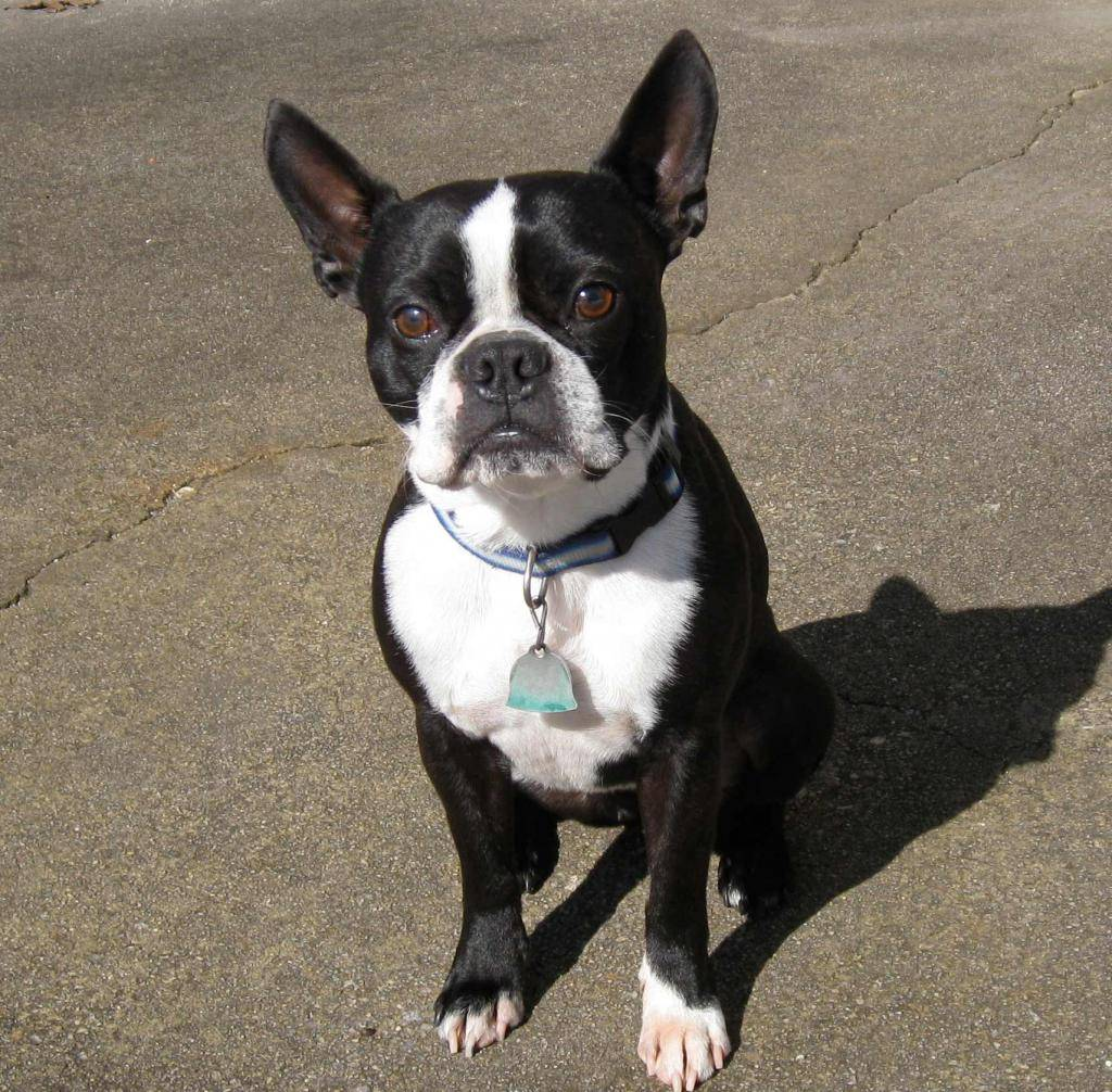 Бостон-терьер - описание с фото, характер и дрессировка, выращивание щенков, здоровье и лечение болезней