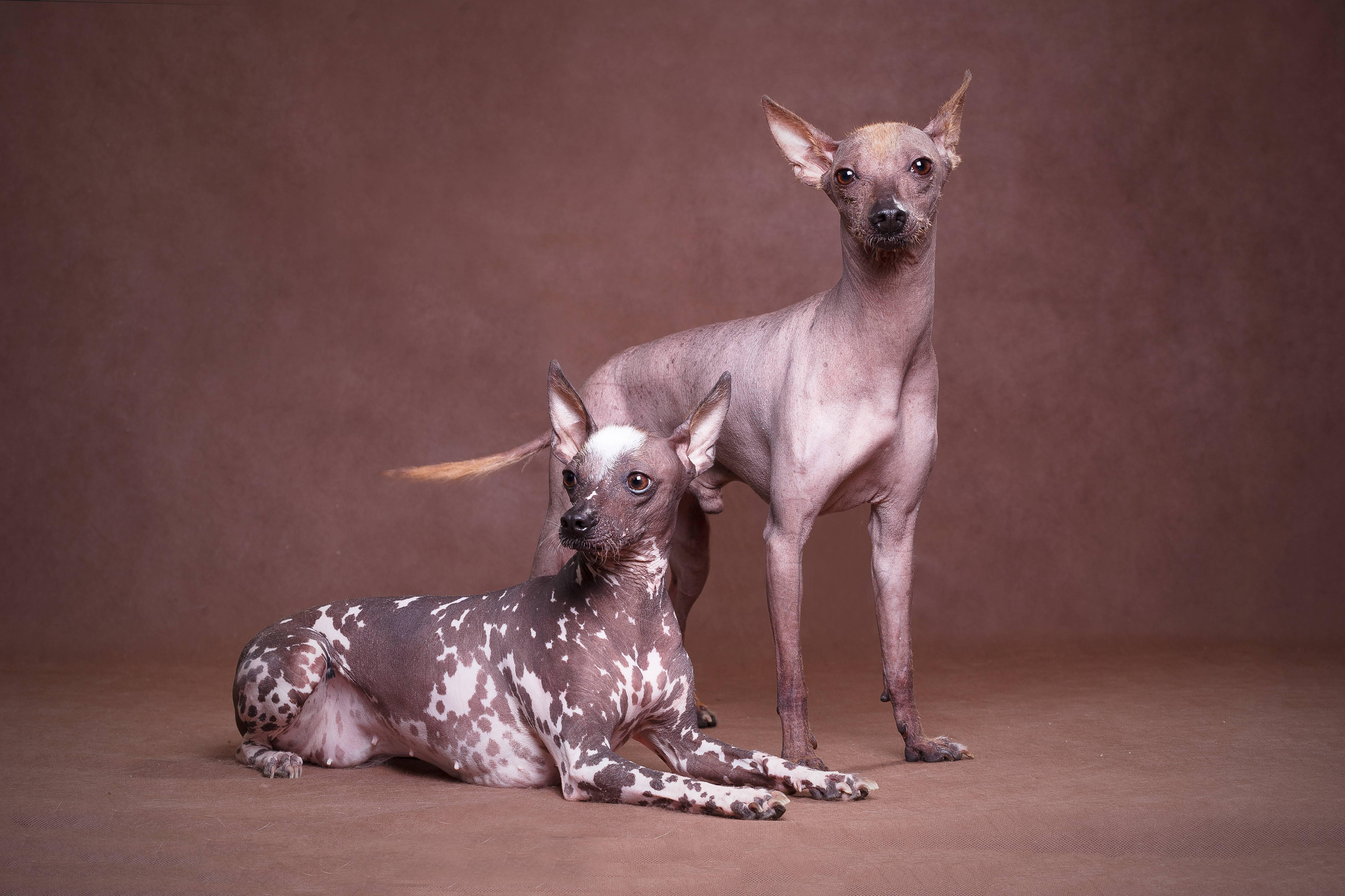 Лысая собака с хохолком (мексиканская ксолоитцкуинтли)