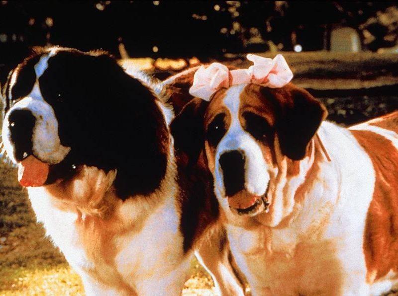Порода собаки изфильма «бетховен»