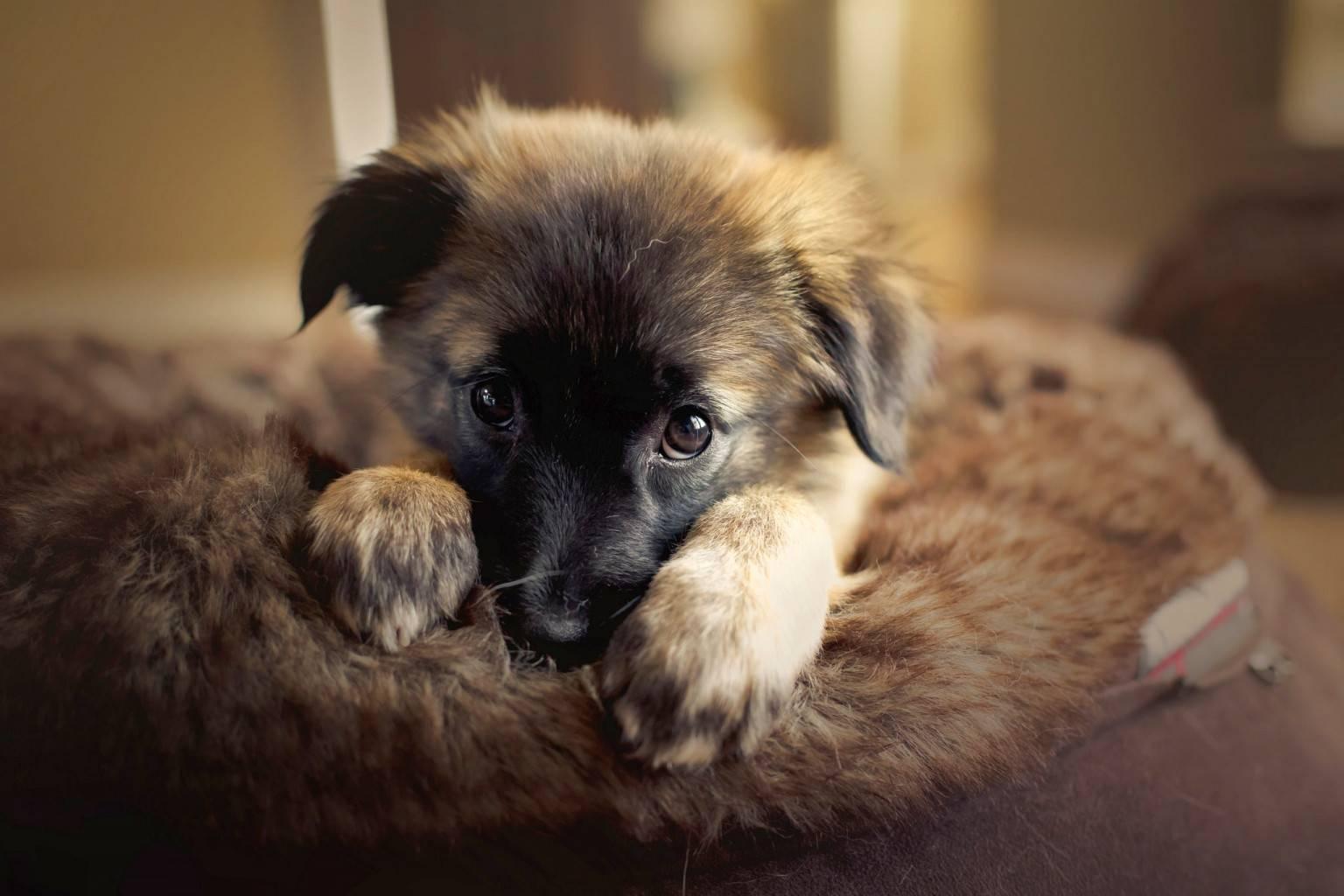 Отлучение щенков от матери. немецкая овчарка
