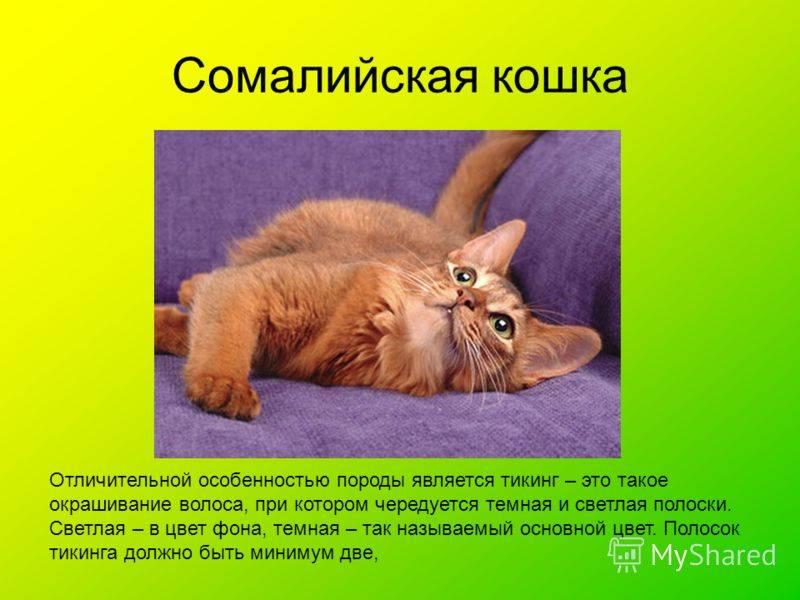 Сомалийская кошка или сомали