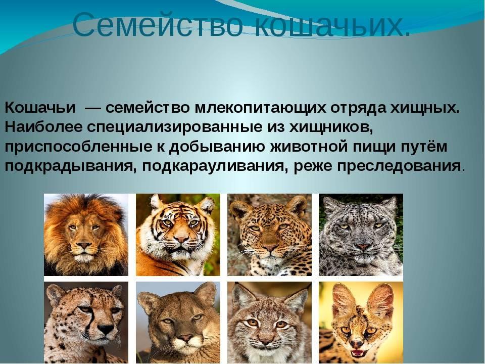 Виды пород диких кошек: список животных семейства кошачьих, описание
