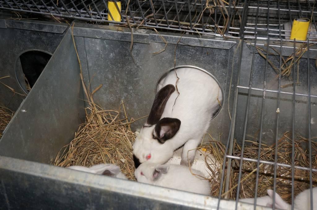 Почему крольчиха съедает, убивает или разбрасывает новорожденных крольчат