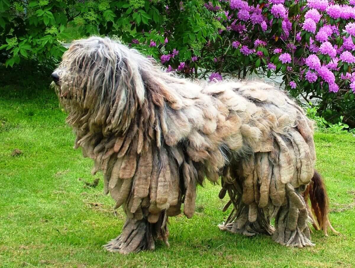 Бергамская овчарка: история возникновения породы и характер собаки