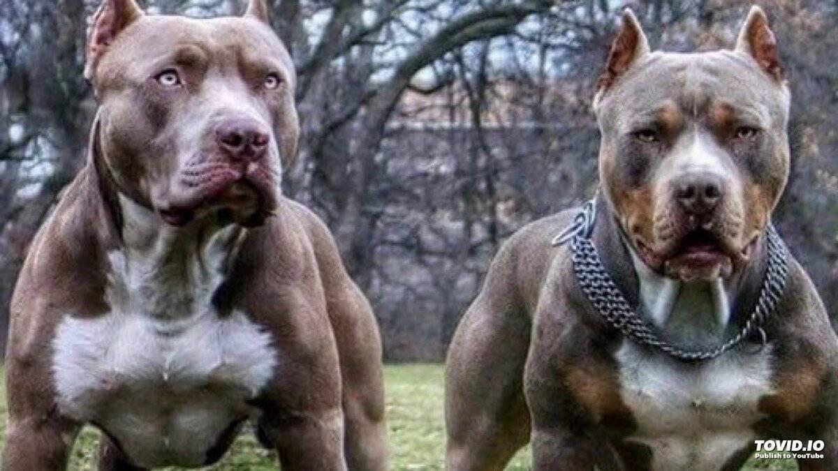 Как появились pit bulls?