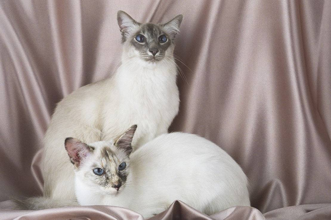 Балинезийская кошка: характеристика породы, содержание и уход