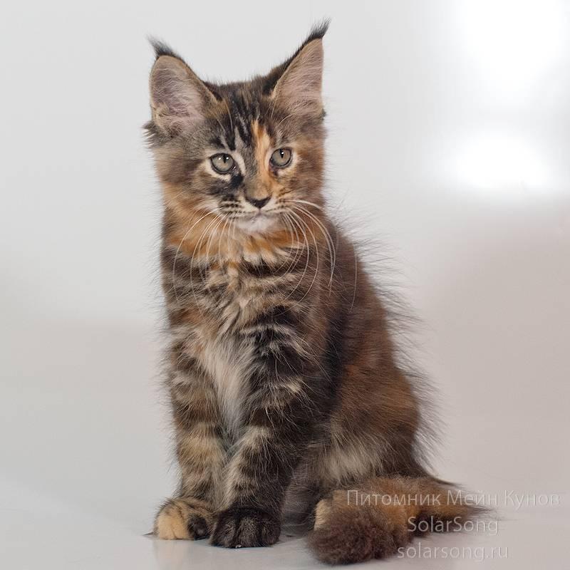 Мейн-кун - особенности породы, характер кошек, фото и цены