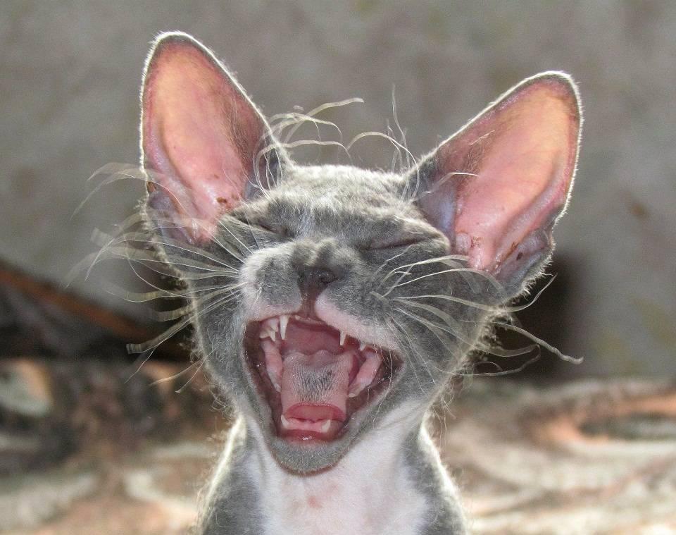 Почему домашние кошки любят тереться головой и бодаться