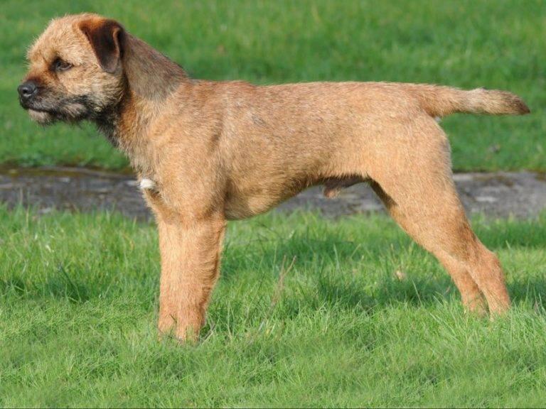 Бордер-терьер: описание породы и характер щенка