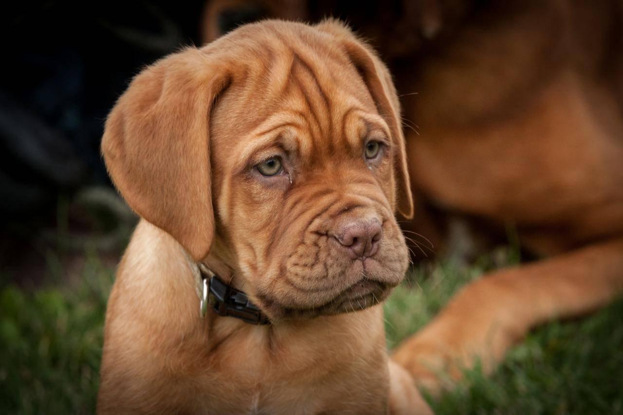Бордоский дог: характеристика, описание, уход (с фото) | все о собаках