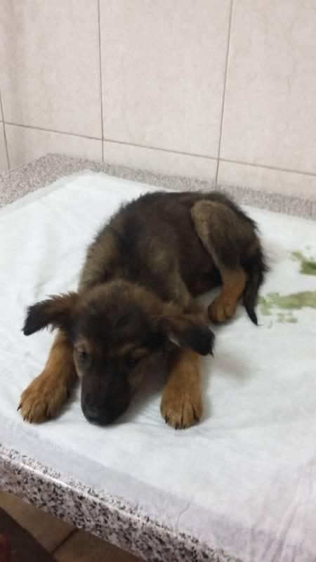 Парвовирусный энтерит (парвовироз) у собак - лечение, симптомы...