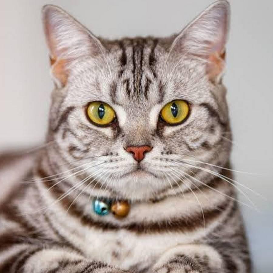 Курцхаар или американская короткошерстная кошка
