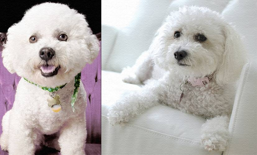 Все о маленьких собачках бишон фризе. описание породы и стоимость щенков
