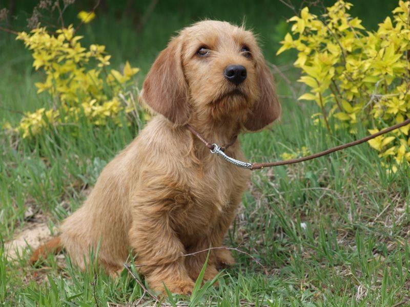 Бассет хаунд собака. описание, особенности, виды, уход и цена породы бассет хаунд