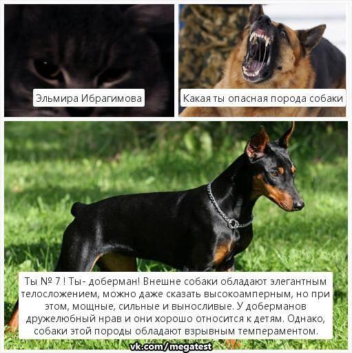 Введение перечня потенциально опасных пород собак правительством рф: список пород, требования к владельцам и ответственность