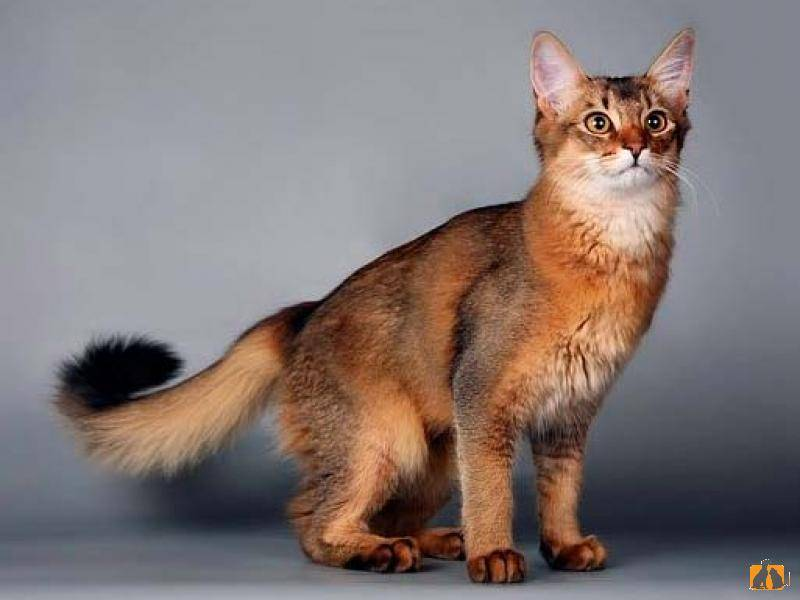 Сомалийская кошка (фото): настоящий член семьи