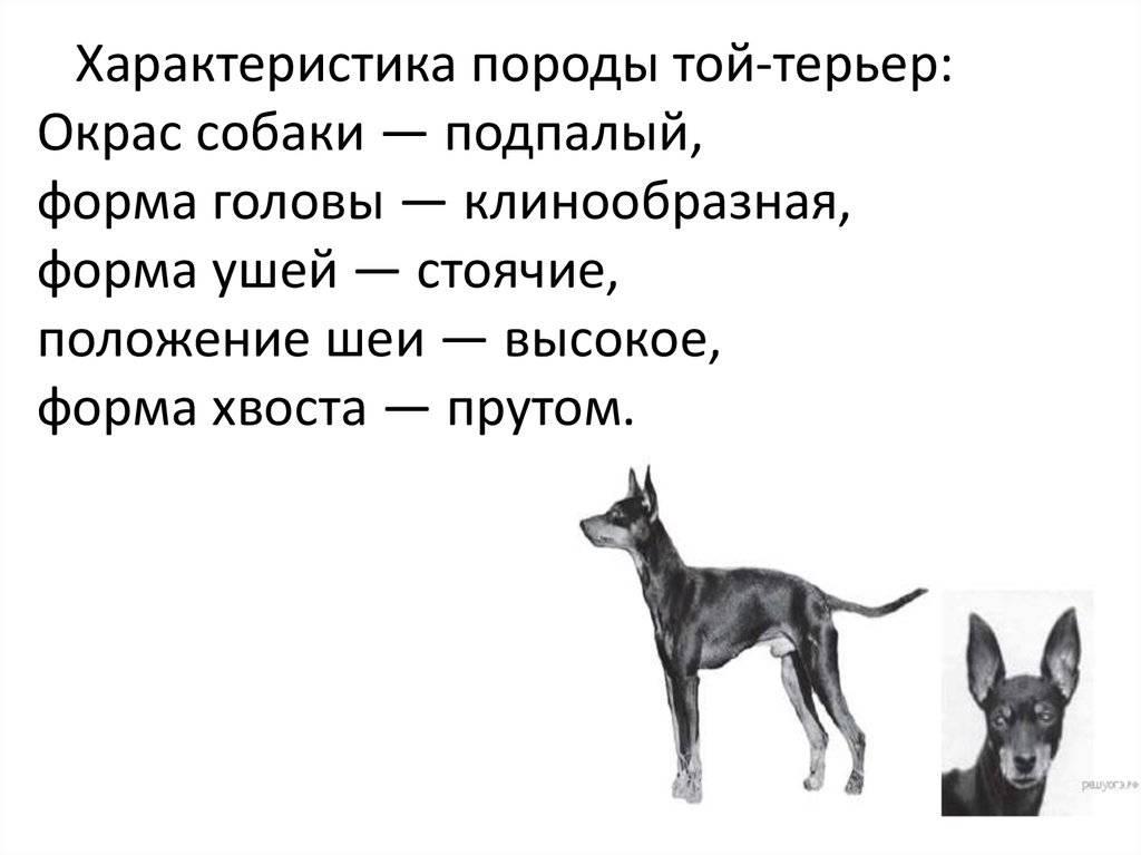 Русский той-терьер: порода собак, описание характера истандарта, уход идрессировка, фото ицена щенков + отзывы