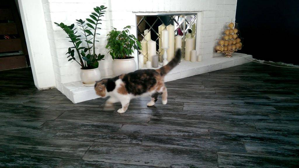 Кот хромает на переднюю лапу