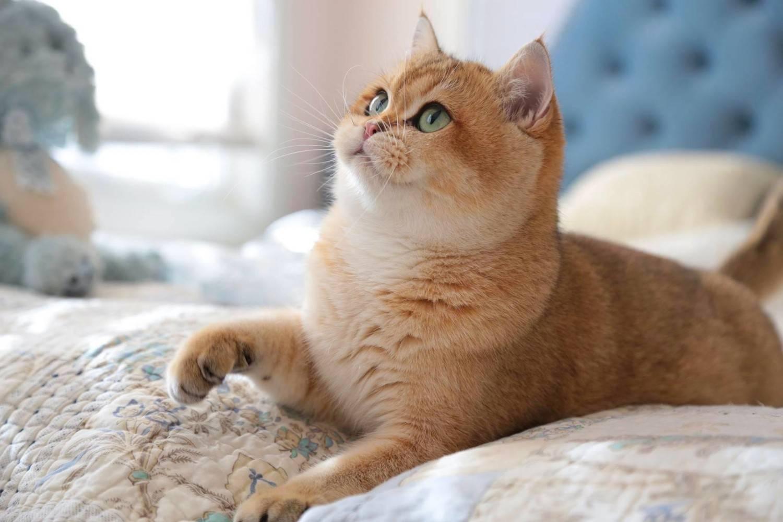 Кошка шиншилла – существующие окрасы, рекомендации по уходу и кормлению питомца