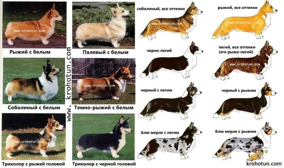 Подборка гладкошерстных пород собак с описанием и фото