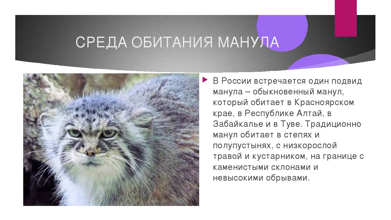 Лесной кот. образ жизни и среда обитания лесного кота