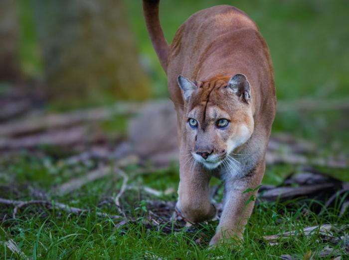 «ласковый, несмотря на габариты» — как пензенская семья приютила котенка пумы из контактного зоопарка